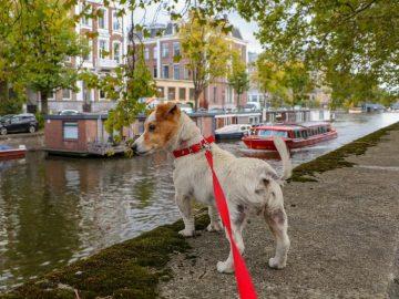 Dog enjoying his walk outdoors with his dog walker.