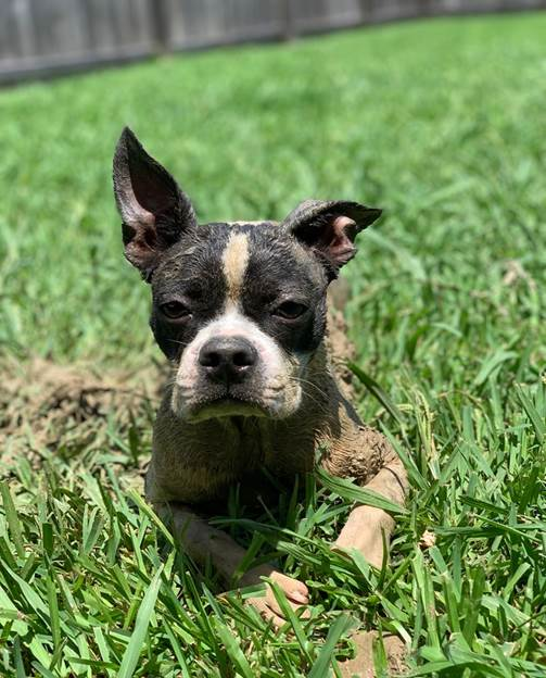 A Muddy Boston terrier sitting in the Grass