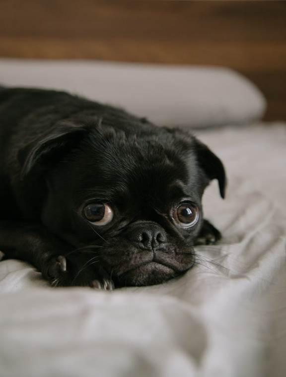 : A Black Pug Lying Down on White Bedding